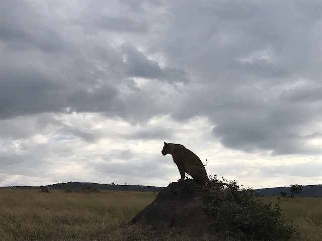 lioness-1